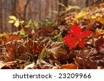 Seedling Showing Autumn Colors - Appalachian Mountains, Virginia - stock photo