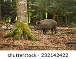 wild boar walking through dead... | Shutterstock . vector #232142422