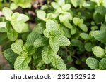 peppermint. | Shutterstock . vector #232152922
