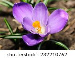 Closeup Of Blossoming Crocus
