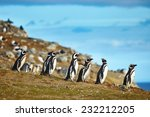 Many Magellanic Penguins In...