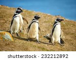 Постер, плакат: Three Magellanic penguins in
