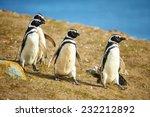 Three Magellanic Penguins In...
