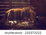 Young Weanling Horse Lying Dow...
