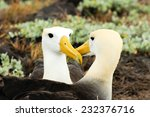 Yellow Headed Waved Albatross...