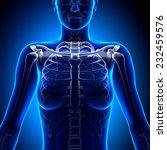 female clavicle   anatomy bones   Shutterstock . vector #232459576