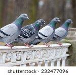 Grey Pigeon Bird Closeup On...