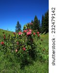 Small photo of Alpine rose plant in the swiss mountains