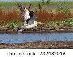 great white pelican   pelecanus ...   Shutterstock . vector #232482016