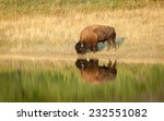 American Bison (Bison bison) drinking water, reflected on the lake. Alberta, Canada, North America. - stock photo