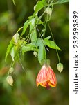 Small photo of Red Vein Chinese Lantern (Abutilon pictum) with flowers. Misiones Rainforest, Argentina, South America.