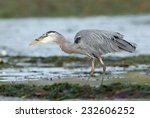 Great Blue Heron (Ardea herodias) swallowing a freshly caught fish. Vancouver Island, British Columbia, Canada, North America. - stock photo