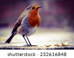 Robin About To Feed On Dried...