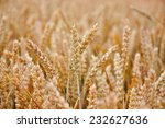 Detail Of A Wheat Field