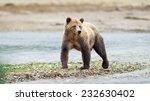 Grizzly Bear (Ursus arctos horribilis) standing at waterside. British Columbia, Canada, North America. - stock photo