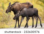 Small photo of Cow Western moose (Alces alces andersoni) adult female walking with calf under the rain. Alberta, Canada, North America.