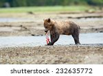 Grizzly Bear (Ursus arctos horribilis) eating a freshly caught unidentified salmon (Oncorhynchus sp). British Columbia, Canada, North America. - stock photo