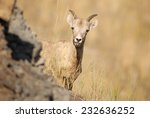 Rocky Mountain Bighorn Sheep (Ovis canadensis canadensis) female peeking from behind a rock and sticking out her tongue. Alberta, Canada, North America - stock photo