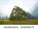 A Famous Elm Tree In Yosemite...