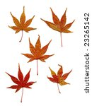 dry maple leaves | Shutterstock . vector #23265142