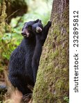 black bear cub looks at... | Shutterstock . vector #232895812
