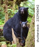 A Black Bear Cub  Coy  Takes A...