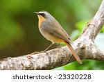 Cape Robin Chat Adult Breeding...