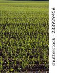 Small photo of Newly planted corn in early summer, Agassiz, BC in the Fraser Valley