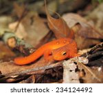 Eft Stage Of Eastern Newt ...
