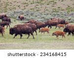 Bison Herd  Passing By
