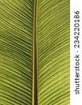 Small photo of Ensete ventricosum, False Banana, Ethiopian Banana, Abyssinian Banana