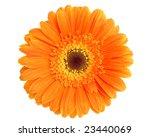 Orange Gerbera Flower Isolated...