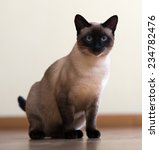 sitting siamese cat on  floor... | Shutterstock . vector #234782476
