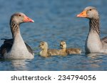 Young Graylag Goose