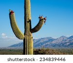 Blooming Saguaro Cactus At...