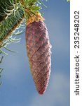 Small photo of Norway Spruce, cone, Picea abies