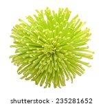 A Single Green Chrysanthemum...