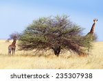 adult female giraffe with calf... | Shutterstock . vector #235307938