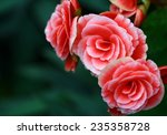 Stock photo garden of pink red fairy rose in garden background blossom pale pink shrub roses 235358728