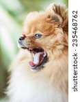 cute and funny pomeranian puppy ... | Shutterstock . vector #235468762