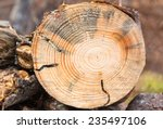 Fallen Pine Tree  Cut With...