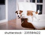 dog jack russell terrier ... | Shutterstock . vector #235584622