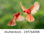 northern cardinal  wildlife | Shutterstock . vector #235766008
