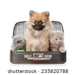 Stock photo spitz puppy and two scottish sitting in a bag isolated on white background 235820788
