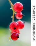 Branch Of Six Macro Currant In...