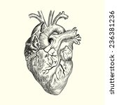 hand drawn human heart. sketch...