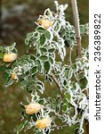 Small photo of the winter impression - the hoary yellow rose in the garden