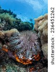 Small photo of A Crown-of-Thorns seastar (Acanthaster planci) feeds on reef-building corals on a reef near Flores, Indonesia. This species lives about 8 years and females produce up to 60 million eggs per season.
