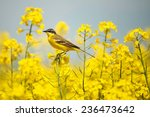 Bird in yellow flowers  rapeseed