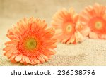 beautiful fresh orange gerbera... | Shutterstock . vector #236538796